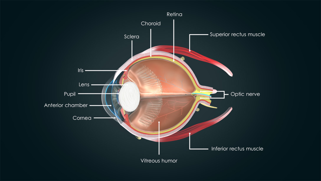 parts of the human eye: Retina, Choroid, Sclera, Iris, Lens, Pupil, Anterior chamber, Cornea, Vitreous humor, Inferior rectus muscle, Optic nerve, Superior rectus muscle