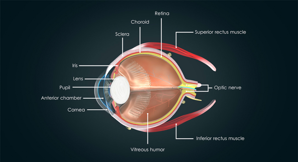 diagram of eye showing different details